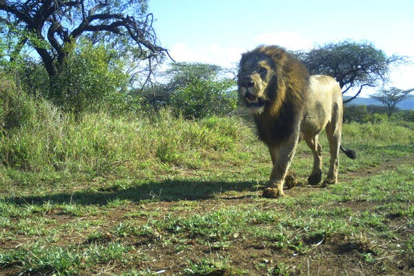 Mesocarnivore community structuring in the presence of Africa's apex predator