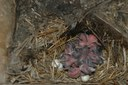Decomposing fecundity and evaluating demographic influence of multiple broods in a migratory bird